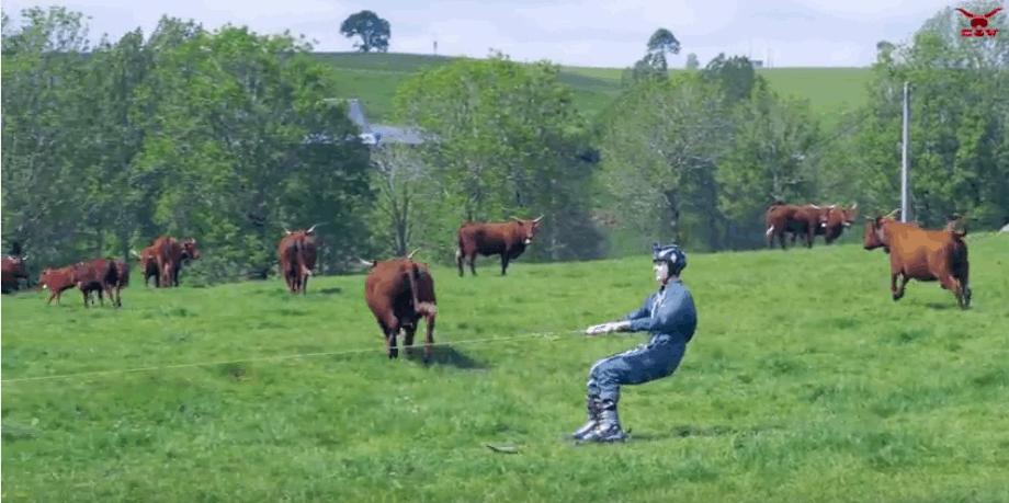 VÍDEO: ¡Esquiando entre vacas!