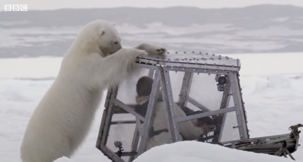 vídeo BBC oso polar