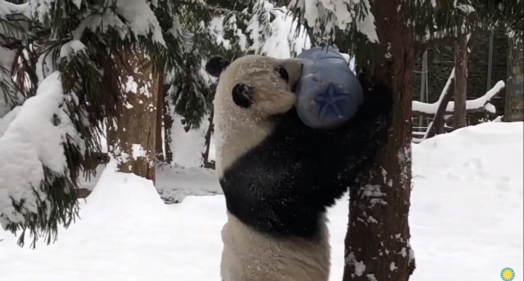 vídeo oso panda nieve
