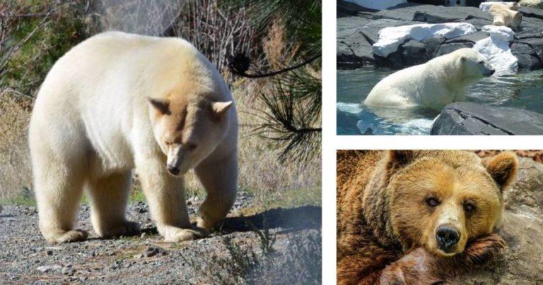 Osos Grolar, la llegada de una nueva especie, el declive del oso polar